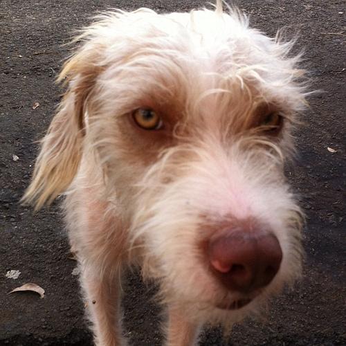 Caio Castro loiro parece com este cachorro